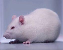 Экспериментальная мышь